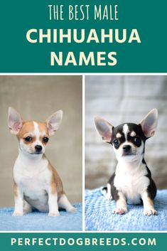While You Many Have Seen Chihuahuas All Over Our Screens Portrayed As Pampered Princesses We Shouldn T Forget A In 2020 Male Chihuahua Names Chihuahua Names Chihuahua