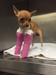 Chihuahua Puppy With Broken Legs Found In Dumpster  (11-4-2015)