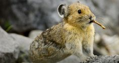 「アメリカナキウサギ」カナダ, アルバータ州, バンフ国立公園 -- Don Johnston/All Canada Photos/age fotostock © (Bing Japan)