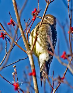 Yellow-bellied Sapsucker, Black Mountain, NC
