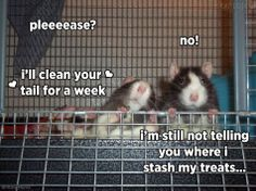 a rat and their treats will not be parted!