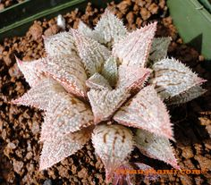 Succulent - Haworthia cv 'Platinum'