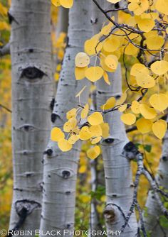 Aspen detail, Bishop Canyon, Inyo National Forest, CA