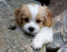 Cavachon (Bichon-King Charles mix) Info, Temperament, Puppies, Pictures - puppy we saw in DC Cute Dogs And Puppies, I Love Dogs, Pet Dogs, Dog Cat, Doggies, Fluffy Puppies, Small Puppies, Baby Puppies For Sale, Adorable Puppies