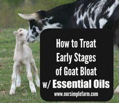 Our Simple Farm: How to Treat Early Stages of Goat Bloat with Essential Oils