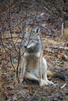 Red wolf at Wolf Conservation Center, a Red Wolf Species Survival Plan participant. Photo credit: Alex Spitzer/Wolf Conservation Center.