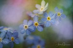 Forget me not / 500px