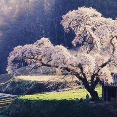 #goodnight #bonnenuit #oyasumi  #sakura #japon #asie