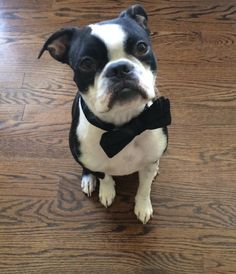 Dog Wearing Tuxedo for his Owners Wedding! This is Dexter! ► http://www.bterrier.com/?p=28823 - https://www.facebook.com/bterrierdogs