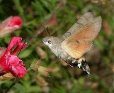 Humming-bird hawk-moth (c) D Green / butterfly conservation Most Beautiful Animals, Beautiful Birds, Pretty Animals, Beautiful Things, Bee Moth, Moth Species, Insect Species, Endangered Species, Hummingbird Moth