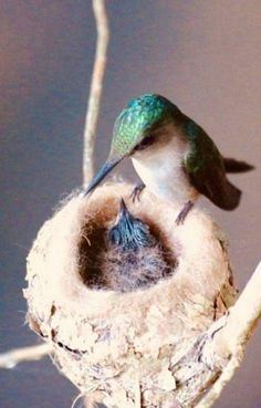 """""""Hope is the thing with feathers that perches in the soul and sings the tune without the words and never stops at all. Pretty Birds, Love Birds, Beautiful Birds, Animals And Pets, Cute Animals, Strange Animals, Hummingbird Pictures, Funny Birds, Humming Bird Feeders"""