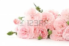 beautiful blooming carnation flowers on a white background