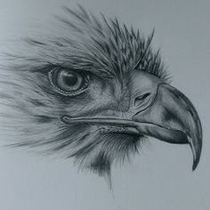 Eagle drawing in pencil