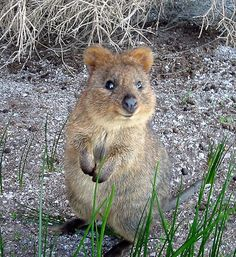 Quokka - endangered in Australia. This is absolutely adorable. It looks like part koala, part wombat, and part kangaroo. I want onee Happy Animals, Animals And Pets, Funny Animals, Cute Animals, Animal Pictures, Cute Pictures, Quokka, Australian Animals, Tier Fotos
