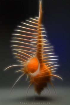 another Venus comb shell. Underwater Creatures, Underwater Life, Ocean Creatures, Nautilus, Sea And Ocean, Sea World, Ocean Life, Marine Life, Under The Sea