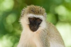 Affe im Tarangire Park, Tansania