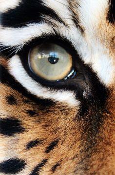 nice TIGER CONSERVATION FUND  www.savetigersnow... animals.nationalg......