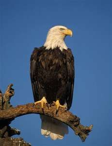 Eagle perched In describing powerful aerial predators, we often think of the eagles as the primary first since they are most symbol. The Eagles, Types Of Eagles, Bald Eagles, Eagle Feathers, Bird Feathers, Beautiful Birds, Animals Beautiful, Our National Bird, Eagle Pictures