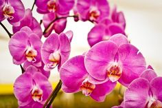 The gorgeous California Orchid is part of the middle notes of the Nomaterra Malibu Fragrance. Orchids differ in the scents they give off, as there are over 20,000 different species of orchids that belong to about 900 different genera. Ours adds a vanilla note to the Malibu Fragrance. CLICK HERE to learn more about the ingredients found in Nomaterra's fragrances: nomaterra.com #nomaterra #fragrances #californiaorchid #orchids #vanilla