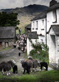 Herdwick #sheep on bridge - #Lake District.  By Ian Lawson via BBC News.