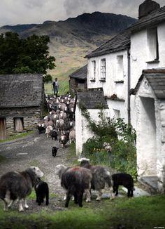 BBC News - Photographs celebrate Lake District rare breed sheep