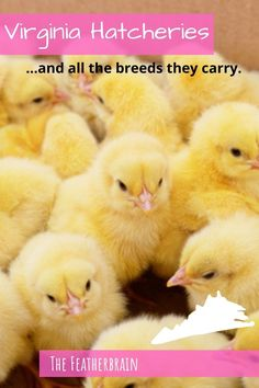 Find chicken hatcheries near you in the state of Virginia,  and learn which breeds they carry. Whether you want rare, friendly heritage breeds, the best egg layers, or beautiful giant breeds, you'll learn where to find them here. Types Of Chickens, Raising Chickens, Chicken Breeds, Backyard Chickens, Chicken Eggs, Virginia, Layers, Pictures, Beautiful
