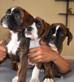 Boxer Dogs What a beautiful armful. I've always said a home is better with two boxers in it; maybe will revise that to three or four or . Cute Boxer Puppies, Boxer Dog Puppy, Dogs And Puppies, Doggies, Dog Cat, Beagle Puppies, Boxer And Baby, Boxer Love, I Love Dogs