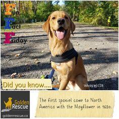 They have been by our side, sharing our adventures for a very long time! #FunFactFriday #goldenretriever #secondchance Eddie Frasier, Golden Corgi, Golden Week, Fun Fact Friday, Dog Nose, All Hero, Great Pyrenees, Service Dogs, Whippet