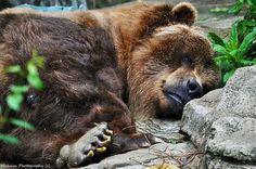 Lehengusu #grizzly