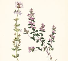 Find useful gardening tips and articles at http://www.thebloomingoasis.com  Antique Basil Thyme Print plate (Calamintha acinos)