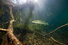 Räuber und Kannibale Hecht: Jungfische frisst er schon ab einer Größe von drei Zentimetern