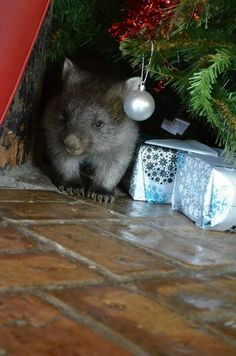 Christmas wombat!  Can I please have one this year???  ☺️