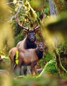 Elk is soooo good! Roosevelt elk, the largest of the four surviving subspecies of elk in North America Nature Animals, Animals And Pets, Cute Animals, Beautiful Creatures, Animals Beautiful, Roosevelt Elk, Theodore Roosevelt, Bull Elk, Deer Family