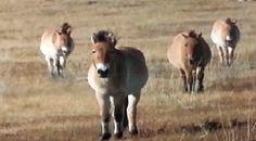 Cavalos de Przewalski :: gilmar.terramaia