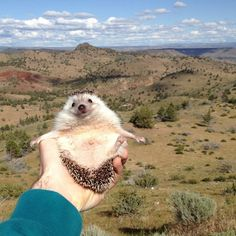 Meet Biddy. He's the hedgehog version of that gnome in Amelie. Or Flat Stanley. Click for more adventures.