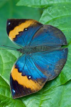 """Indian Leaf Butterfly / """"A melhor transformação no homem é aquela que ninguém vê."""" (Luck Sales)"""