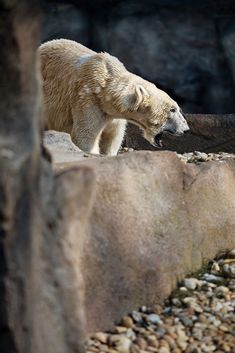 Angry polar bear by Peter Hermann / 500px