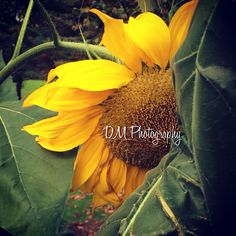 Sunflower ••• Roslyn Duck Pond  NY