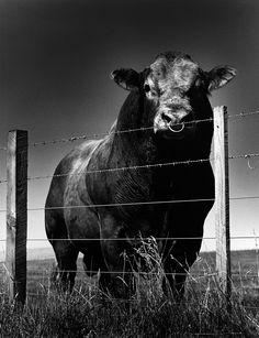 Helmut Newton, 'Fred, the bull', Scotland, 1995
