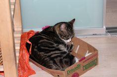 Linus Cat | Pawshake