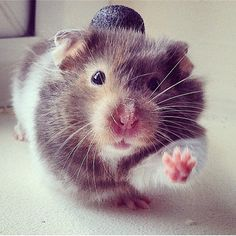 Cuteness. This rat has a top hat on. ❤️❤️❤️❤️❤️❤️
