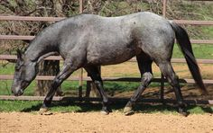 True Blue Roan Horse | Horses For Sale, Horse Classifieds, Pictures & Horse Trailers