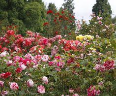 Bella's Rose Cottage: My Favorite Rose Garden...