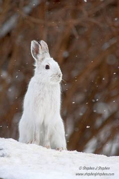 Winter White – Snowshoe Hare by Stephen Stephen on - Animals Wild Creatures, Woodland Creatures, Snowshoe Hare, Cute Small Animals, Rabbit Pictures, Wild Animals Photos, Animal Tattoos, Winter White, Animal Paintings