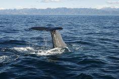 sperm whale off the Kaikoura coastline