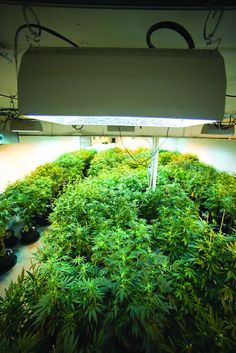 MARIJUANA GROW NUTRIENTS GUIDE