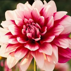 """Dahlia - """"best summer bulbs"""" from bhg.com - range in size from dwarf to monster/dinnerplate, nearly every color, variety of flower forms;  like full sun/moist, dig the tubers and store them for winter"""