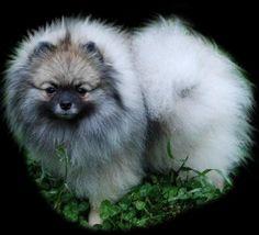 Pomeranian Dogs And Kids Wolf Sable Pomeranian, Pomeranian Dogs, Pomeranians, Dogs And Kids, Dog Toys, Husky, Pup, Animals, Instagram
