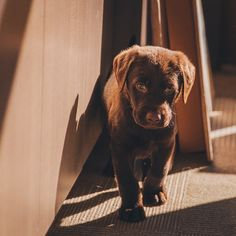 """#chocolatelab #puppy at work! Sometimes working for a USA pet food manufacturer has it's perks. We always have #dogs here!"""