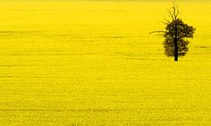 Oilseed-rape-002.jpg (460×276)